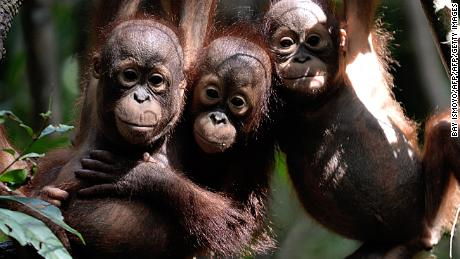 "Three orphaned baby orangutans at a ""jungle school"" in Indonesian Borneo."