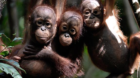 "Three orphaned baby orangutans at a ""jungle school"" in Indonesian Borneo."