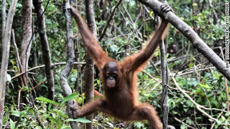 Bornean orangutans are threatened by hunting and deforestation.