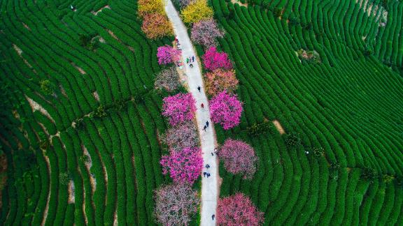Longyan, China: From February, this aerial shot shows cherry trees in bloom at a tea plantation in Yongfu Town in Longyan, Fujian.