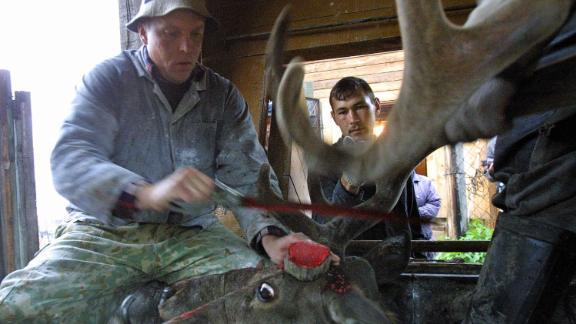 A Siberian herdsmen saws off a deer's antlers in the Altai territory of Terekta.