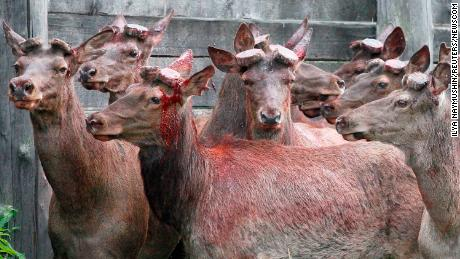 Siberian red deer at a farm after the annual antler cutting near the Siberian city of Krasnoyarsk.