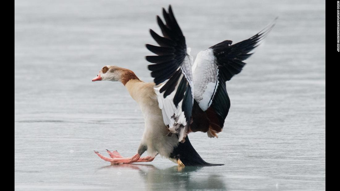 An Egyptian goose slides over the ice as it tries to land on the frozen Maschsee lake in northern Germany, on Monday, February 19.