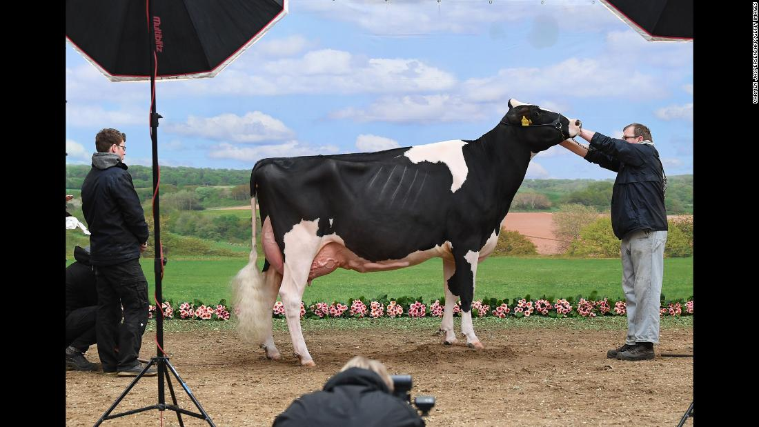 A cow is prepared for a photo shoot during a dairy cow beauty pageant on Thursday, February 22 in Germany.