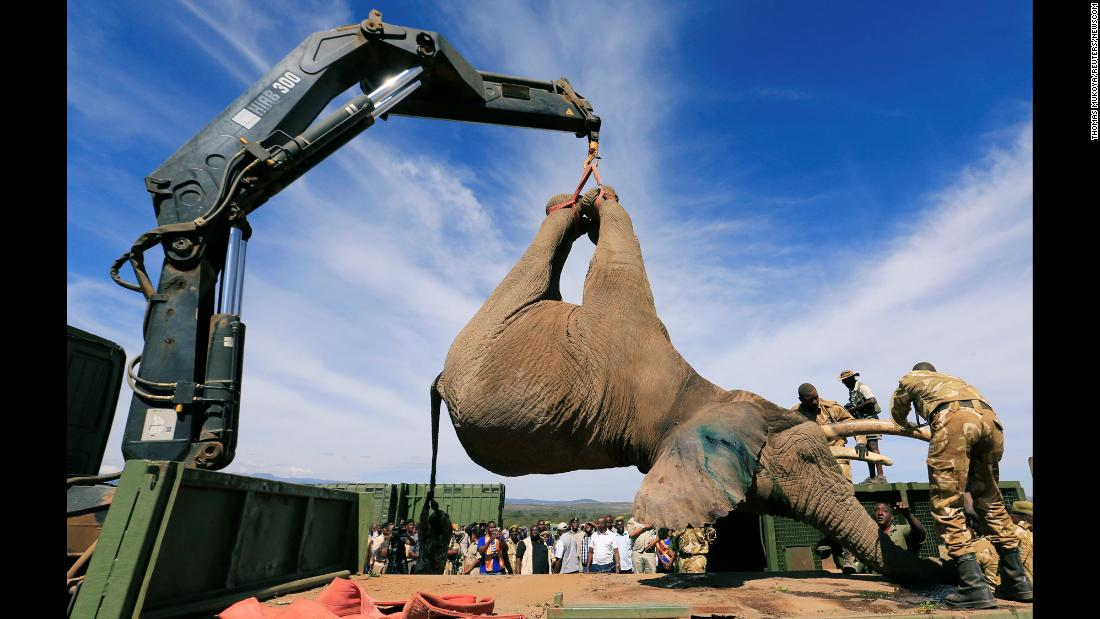 Kenya Wildlife Service rangers load a tranquillized elephant onto a truck during a translocation exercise on Wednesday February 21.
