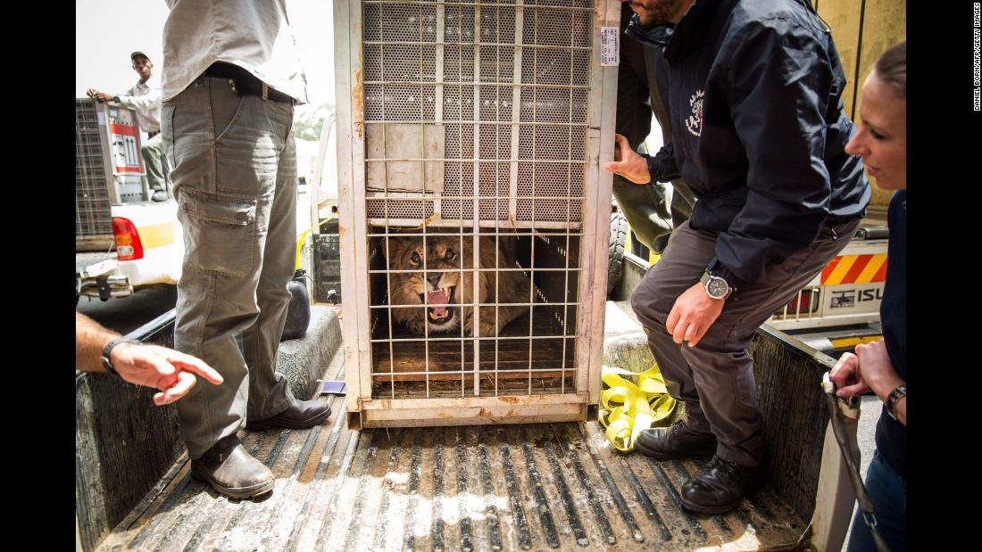 A lion arrives at a Johannesburg airport before being taken to an animal sanctuary in Bethlehem, South Africa, on Monday, February 26. Two lions, Simba and Saeed, were rescued by the Four Paws charity in Syria and Iraq.