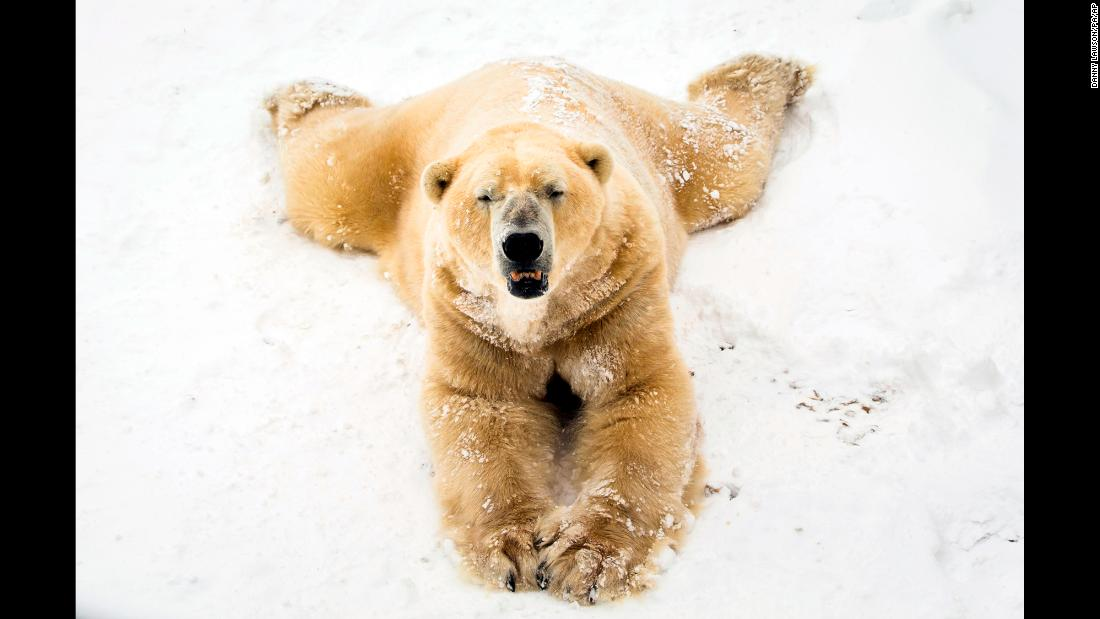 Victor the polar bear plays in the snow at the Yorkshire Wildlife Park in Doncaster, England, on Wednesday, February 28.