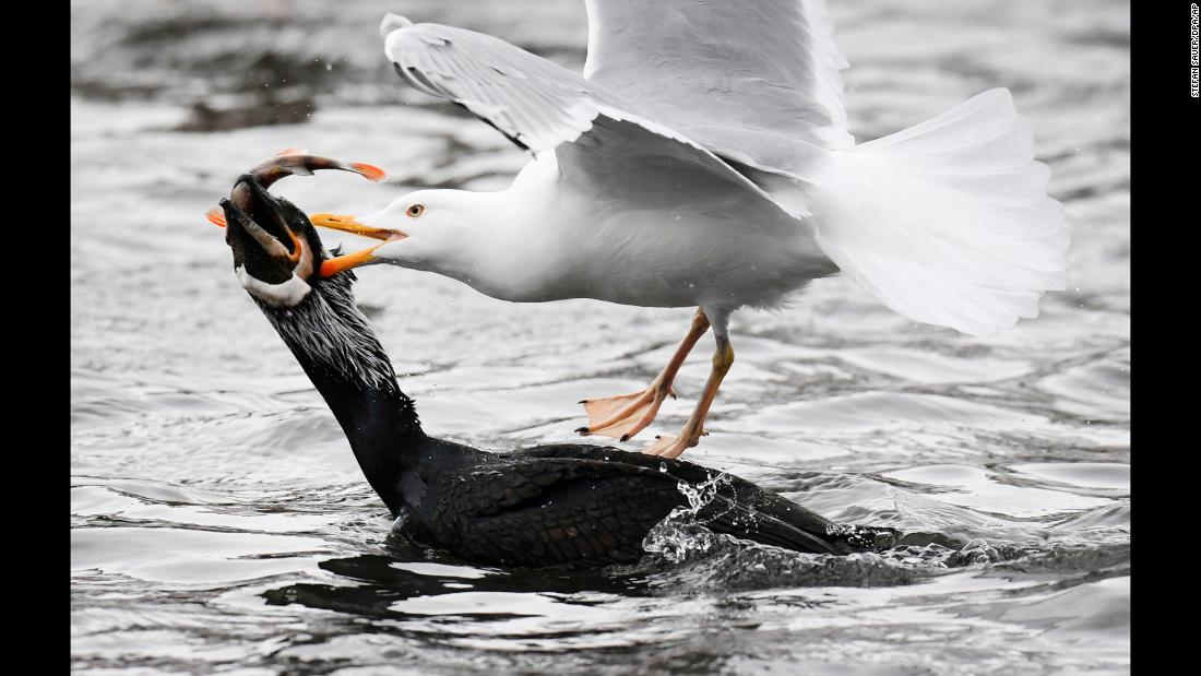 A gull and a cormorant fight for a fish in Stralsund, Germany, on Wednesday, February 28.