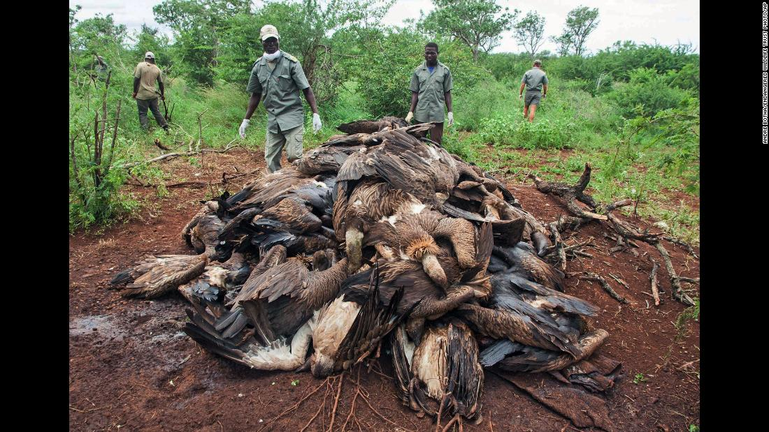The corpses of poisoned vultures are piled up in the Mbashene communal area of Mozambique on Sunday, February 25. Conservationists said at least 87 critically endangered vultures died after consuming poison that was planted in the carcass of a poached elephant. Vultures are often targeted by poachers so that the birds don't give away their location.