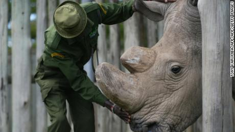 TO GO WITH AFP STORY BY NICOLAS DELAUNAY A caregiver calms Sudan, the last known male of the northern white rhinoceros subspecies, on December 5, 2016, at the Ol Pejeta conservancy in Laikipia County -- at the foot of Mount Kenya -- that is home to the planet's last-three northern white rhinoceros. As 2016 draws to an end, awareness of the devastation of poaching is greater than ever and countries have turned to high-tech warfare -- drones, night-goggles and automatic weapons -- to stop increasingly armed poachers. According to the International Union for Conservation of Nature (IUCN), at the African Black market, rhino horn sells for up to 60,000 USD (57,000 euros) per kilogram -- more than gold or cocaine -- and in the last eight years alone roughly a quarter of the world population has been killed in South Africa, home to 80 percent of the remaining animals. / AFP / Tony KARUMBA        (Photo credit should read TONY KARUMBA/AFP/Getty Images)