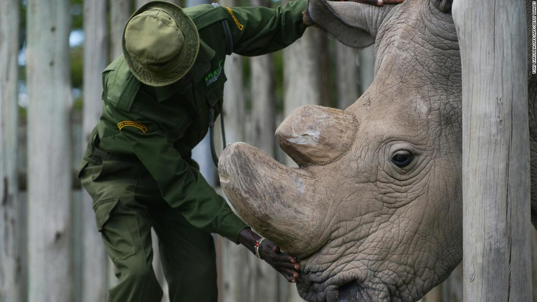 Study could help save Africa's nearly extinct northern white rhino