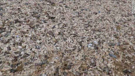 Thousands of dead marine creatures washed up on the beaches of Kent, southern England.