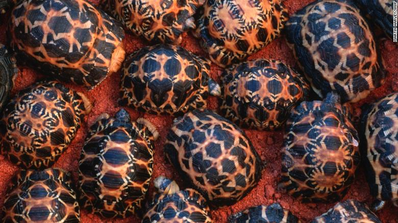 Newly hatched Madagascar radiated tortoises in Southern Madagascar.