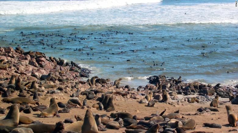 A Cape Fur seal colony at Cape Cross on the Skeleton Coast of western Namibia.