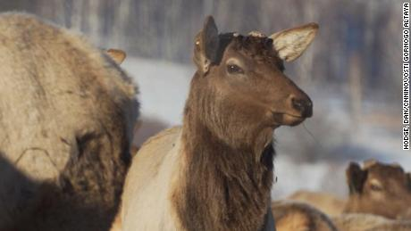 ####2018-02-14 00:00:00 Fred Pleitgen is in the Altai region of Siberia, Russia where the locals farm deer in order to removed the antlers and create 'healing' products from the blood.##