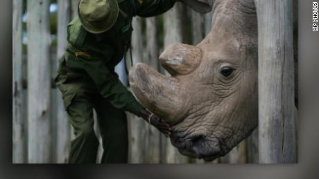 last male northern white rhino