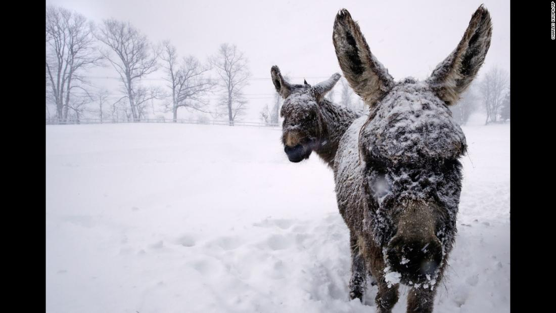 Snow-covered donkeys stand outside in Chester, New Hampshire, on March 13.