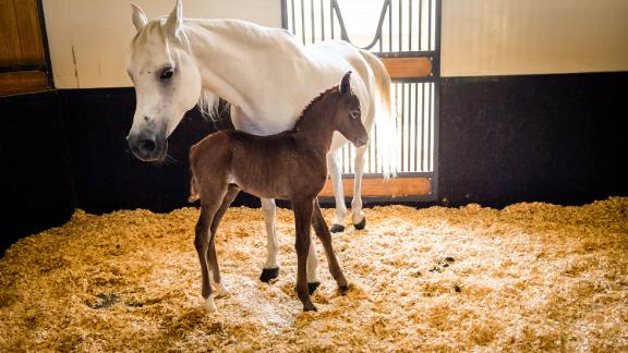 New addition: A newborn horse nuzzles up to its mother. Some 420 horses have been born and bred at the center.
