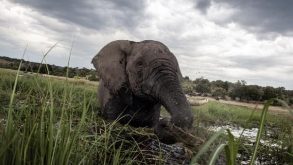 An elephant splashes at sunset in the waters of the Chobe river in Botswana Chobe National Park, in the north eastern of the country on March 20, 2015. African elephants could be extinct in the wild within a few decades, experts warned on March 23, 2015 at a major conservation summit in Botswana that highlighted an alarming decline in numbers due to poaching. AFP PHOTO/CHRIS JEK        (Photo credit should read CHRIS JEK/AFP/Getty Images)