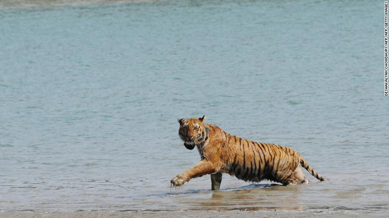 An Indian tigress wearing a radio collar wades through a river after being released by wildlife workers in Storekhali forest in the Sundarbans, some 130 kilometers south of Kolkata, in 2010.