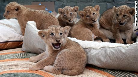 The newborn African lion quintuplets are pictured during their public debut at Kunming Zoo in Kunming city, southwest China's Yunnan province, 10 March 2018. 