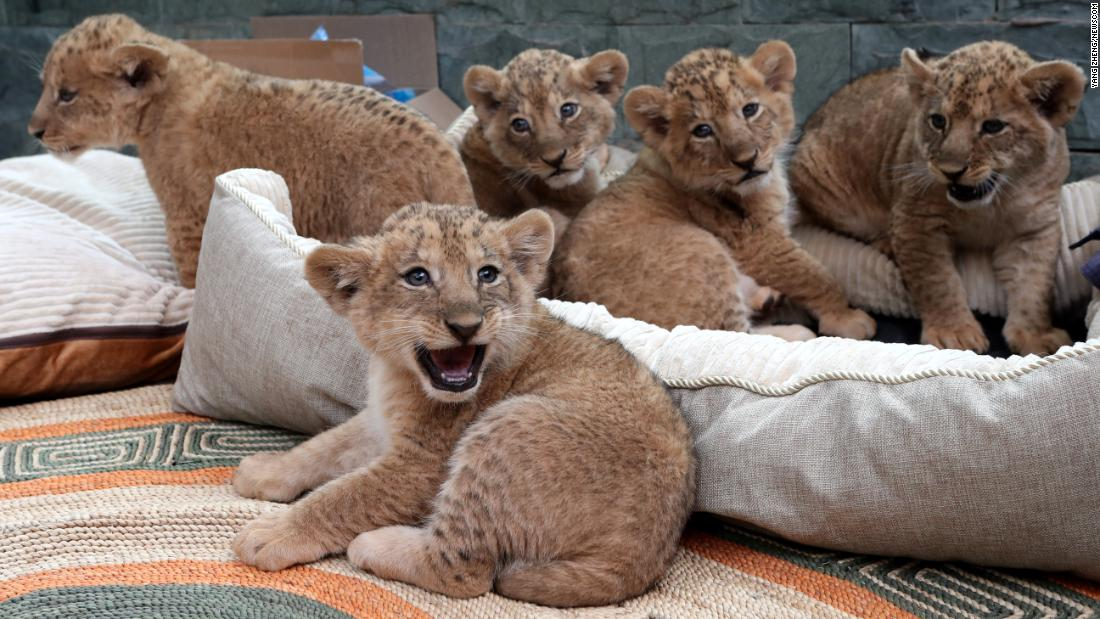 Newborn lion cubs -- quintuplets -- make their debut at the Kunming Zoo in China on Saturday, March 10.