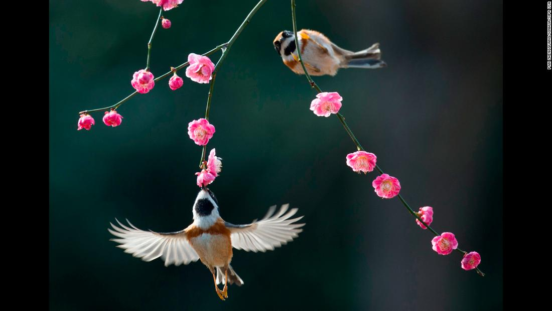 Birds enjoy plum blossoms in Wuxi, China, on Tuesday, March 13.