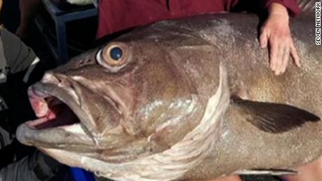 NS Slug: AUSTRALIA: WOMAN CATCHES 136 POUND FISH  Synopsis: A 68-year-old woman reeled in an enormous 62kg grouper that was 162cm long while fishing off the Western Australia coast with her son. Seven Network's David Koch reports.  Keywords: FISHING GROUPER PERTH