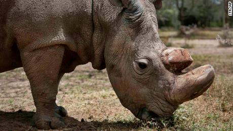 "In this photo taken Wednesday, May 3, 2017, Sudan, the world's last male northern white rhino grazes at the Ol Pejeta Conservancy in Laikipia county in Kenya. Sudan has died after ""age-related complications"" researchers announced Tuesday, saying he ""stole the heart of many with his dignity and strength."" (AP Photo)"