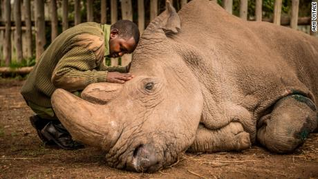 A wildlife ranger comforts Sudan, the last living male Northern White Rhino left on the planet, moments before he passed away March 19, 2018 at Ol Pejeta Wildlife Conservancy in northern Kenya. Sudan lived a long, healthy life at the conservancy after he was brought to Kenya from Dvur Kralov zoo in the  Czech Republic in 2009. He died surrounded by people who loved him at  after suffering from age-related complications that led to degenerative changes in muscles and bones combined with extensive skin wounds. Sudan has been an inspirational figure for many across the world. Thousands have trooped to Ol Pejeta to see him and he has helped raise awareness for rhino conservation. The two female northern white rhinos left on the planet are his direct descendants. Research into new Assisted Reproductive Techniques for large mammals is underway due to him. The impact that this special animal has had on conservation is simply incredible. And there is still hope in the future that the subspecies might be restored through IVF. 