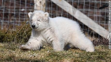 The Highland Wildlife Park's new polar bear cub