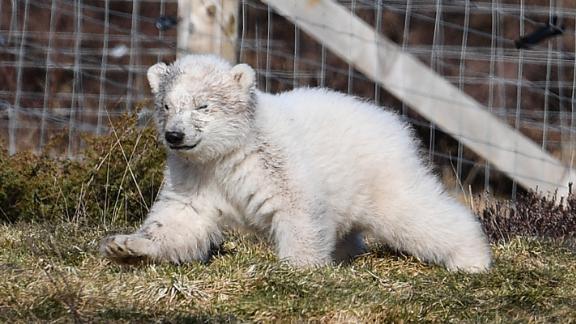 The Highland Wildlife Park's new polar bear cub