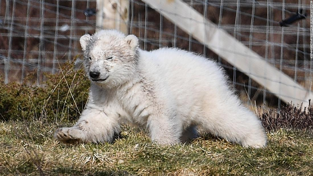 First UK-born polar bear cub in 25 years