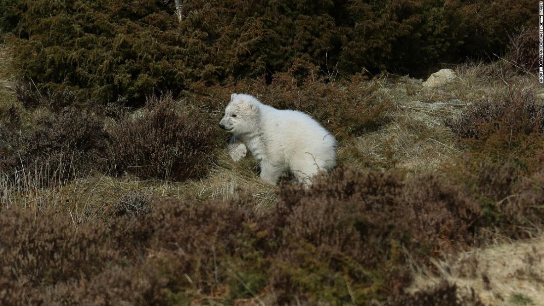 "The <a href=""https://www.cnn.com/2018/03/21/europe/first-polar-bear-cub-uk-intl/index.html"" target=""_blank"">first polar bear cub to be born in the UK in 25 years</a> begins to explore its outdoor enclosure at the Royal Zoological Society's Highland Wildlife Park in Kingussie, Scotland, in advance of the enclosure opening to the public on Wednesday, March 21."