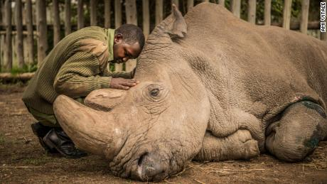 A wildlife ranger comforts Sudan, the last living male Northern White Rhino left on the planet, moments before he passed away March 19, 2018 at Ol Pejeta Wildlife Conservancy in northern Kenya. Sudan lived a long, healthy life at the conservancy after he was brought to Kenya from Dvur Kralov zoo in the  Czech Republic in 2009. He died surrounded by people who loved him at  after suffering from age-related complications that led to degenerative changes in muscles and bones combined with extensive skin wounds. Sudan has been an inspirational figure for many across the world. Thousands have trooped to Ol Pejeta to see him and he has helped raise awareness for rhino conservation. The two female northern white rhinos left on the planet are his direct descendants. Research into new Assisted Reproductive Techniques for large mammals is underway due to him. The impact that this special animal has had on conservation is simply incredible. And there is still hope in the future that the subspecies might be restored through IVF.  In 2009, I had the privilege of following this gentle hulking creature on his journey from the snowy Dvur Krulov zoo in the Czech Republic to the warm plains of Kenya, when he was transported with three of his fellow Northern White Rhinos in a last ditch effort to save the subspecies. It was believed that the air, water, and food, not to mention room to roam, might stimulate them to breed—and the offspring would then be used to repopulate Africa. At the time, there were 8 Northern white rhinos alive, all in zoos. Today, we are witnessing the extinction of a species that had survived for millions of years but could not survive mankind. (Photo by Ami Vitale)