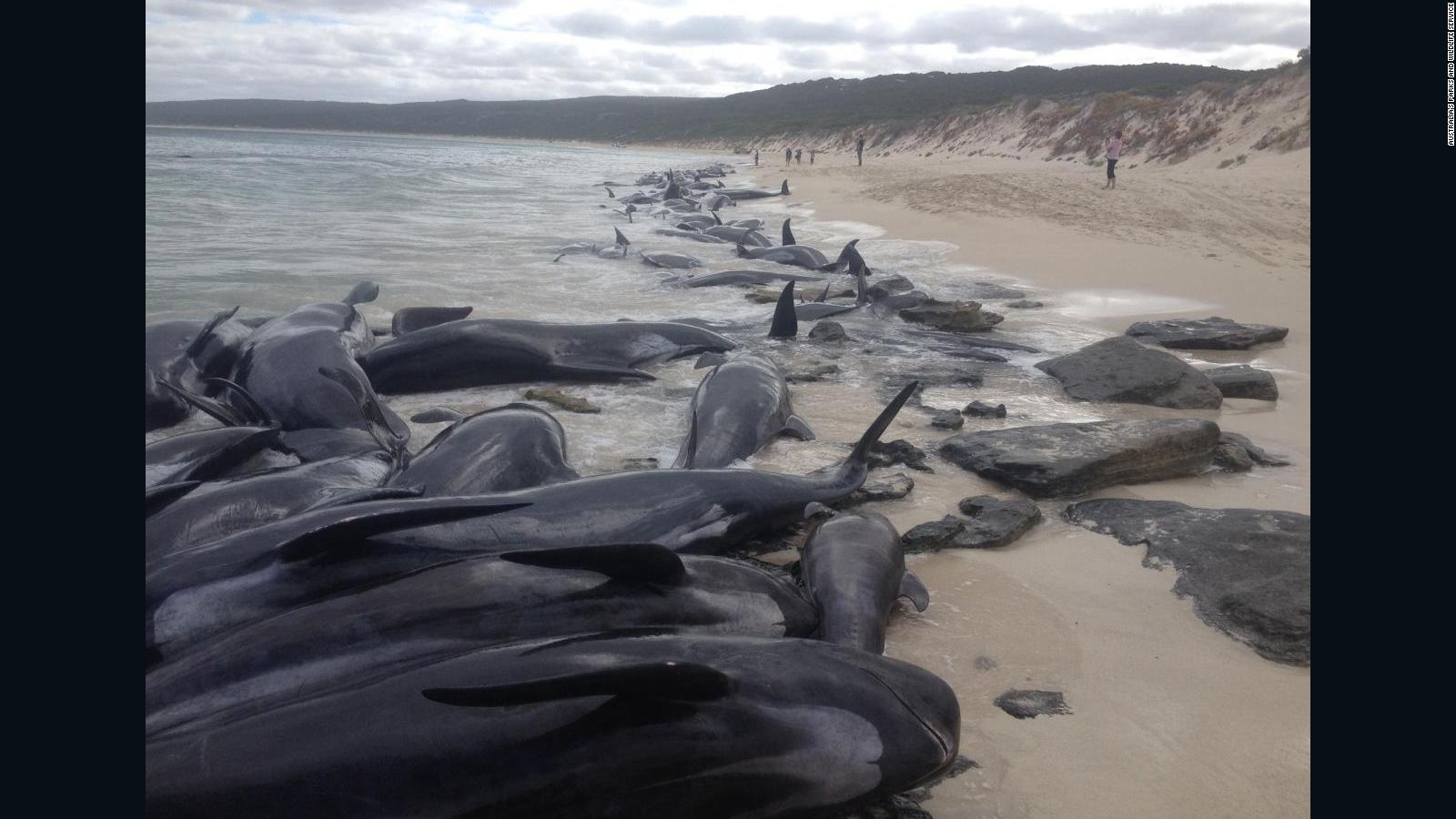 Rescuers scramble to help beached whales after mass stranding in Australia a44d907a9a3