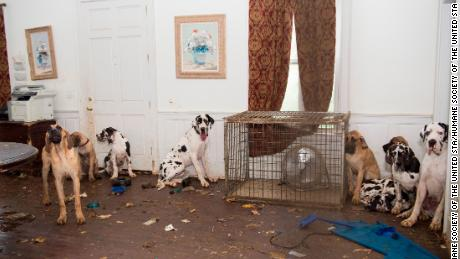 Some 70 Great Danes were rescued from a suspected puppy mill last June  in New Hampshire.