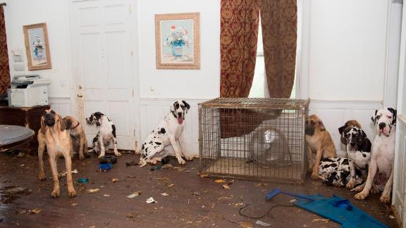 The Humane Society of the United States works with the Wolfeboro Police Dept. to rescue approximately 70 Great Danes from a suspected puppy mill on Friday, June 16, 2017, in Wolfeboro, N.H.   (Meredith Lee/The HSUS)