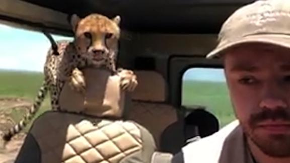 cheetah jumps into car on safari