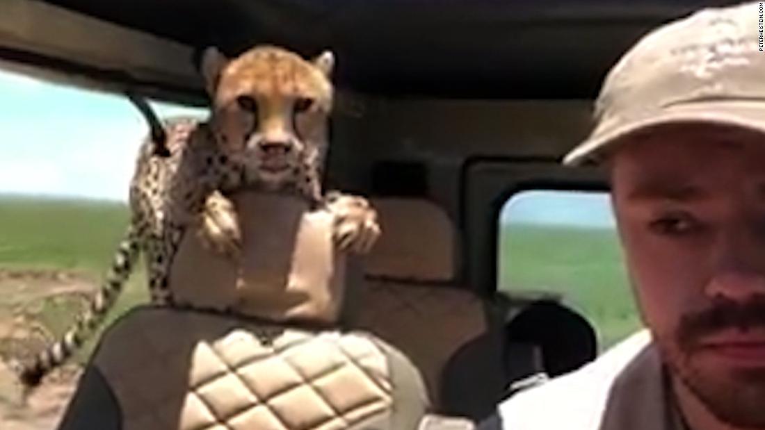 Watch cheetah hop in car during safari