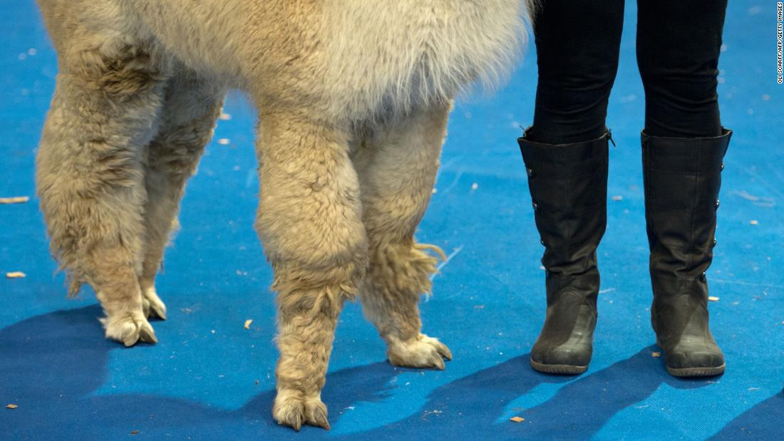 A handler waits with her alpaca before an alpaca show in Telford, England, on Saturday, March 24.