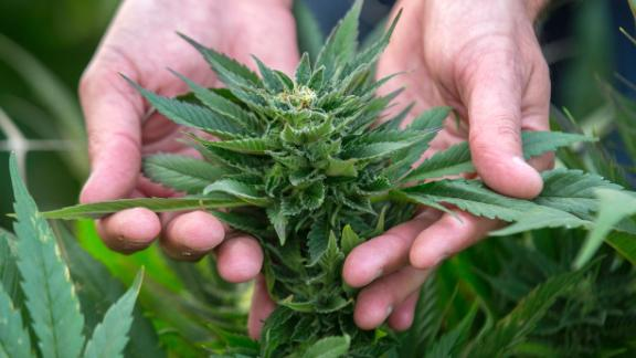 An Israeli agricultural engineer inspects marijuana plants at the BOL (Breath Of Life) Pharma greenhouse in the country's second-largest medical cannabis plantation, near Kfar Pines in northern Israel, on March 9, 2016. The recreational use of cannabis is illegal in the Jewish state, but for the past 10 years its therapeutic use has not only been permitted but also encouraged. Last year, doctors prescribed the herb to about 25,000 patients suffering from cancer, epilepsy, post-traumatic stress and degenerative diseases. The purpose is not to cure them but to alleviate their symptoms. Forbidden to export its cannabis plants, Israel is concentrating instead on marketing its agronomic, medical and technological expertise in the hope of becoming a world hub in the field.  / AFP / JACK GUEZ        (Photo credit should read JACK GUEZ/AFP/Getty Images)