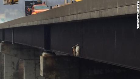 NS Slug: PA: GOATS STUCK ON A BRIDGE - WHA?? (PICS)  Synopsis: Two billy goats trying to cross a bridge find themselves stuck hundreds of feet in the air  Keywords: KICKER ANIMALS