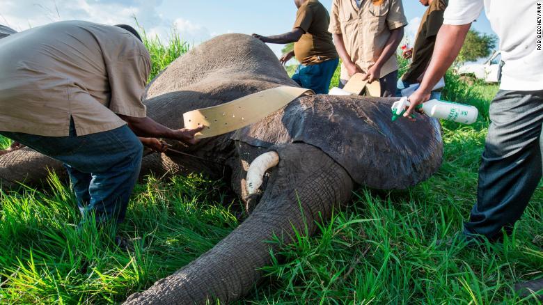 Collaringteamet fäster en GPS-krage till en immobiliserad elefant.