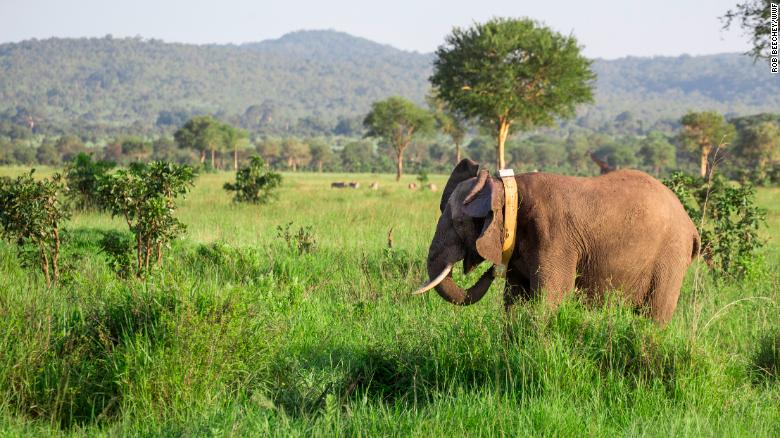 GPS collars are fitted to elephants in the Mikumi National Park, which is opposite to Selous Game Reserve, where they can move freely between.