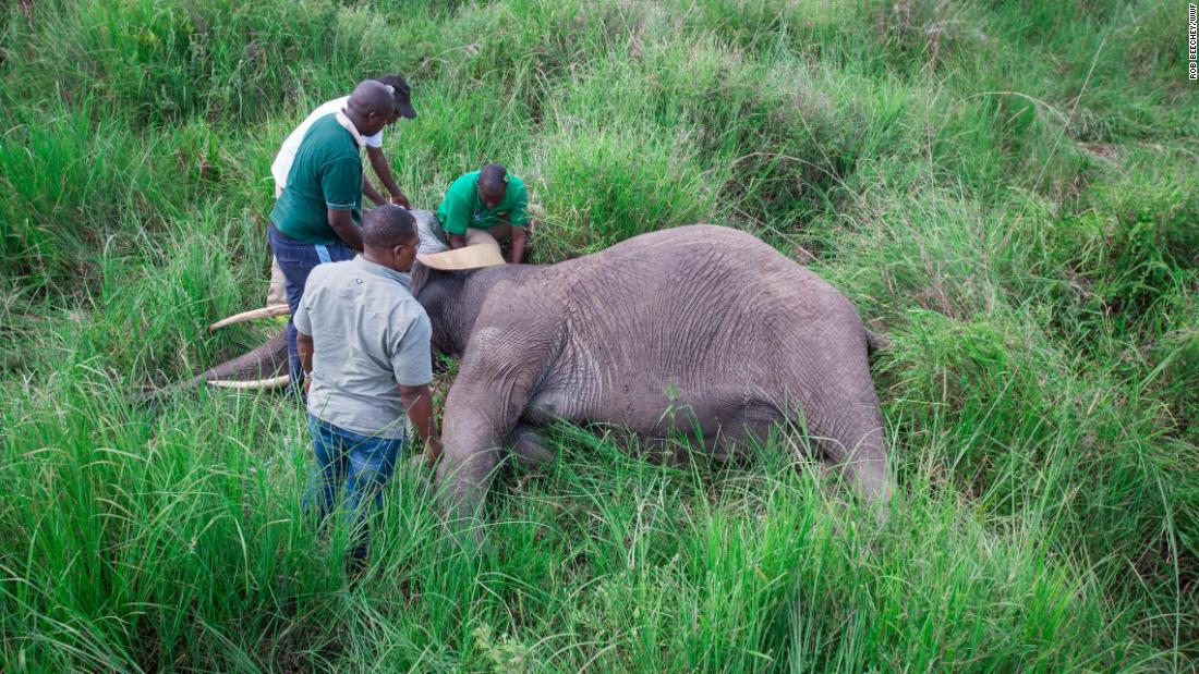The ground crew attaches a GPS collar to a female elephant (20 years old).
