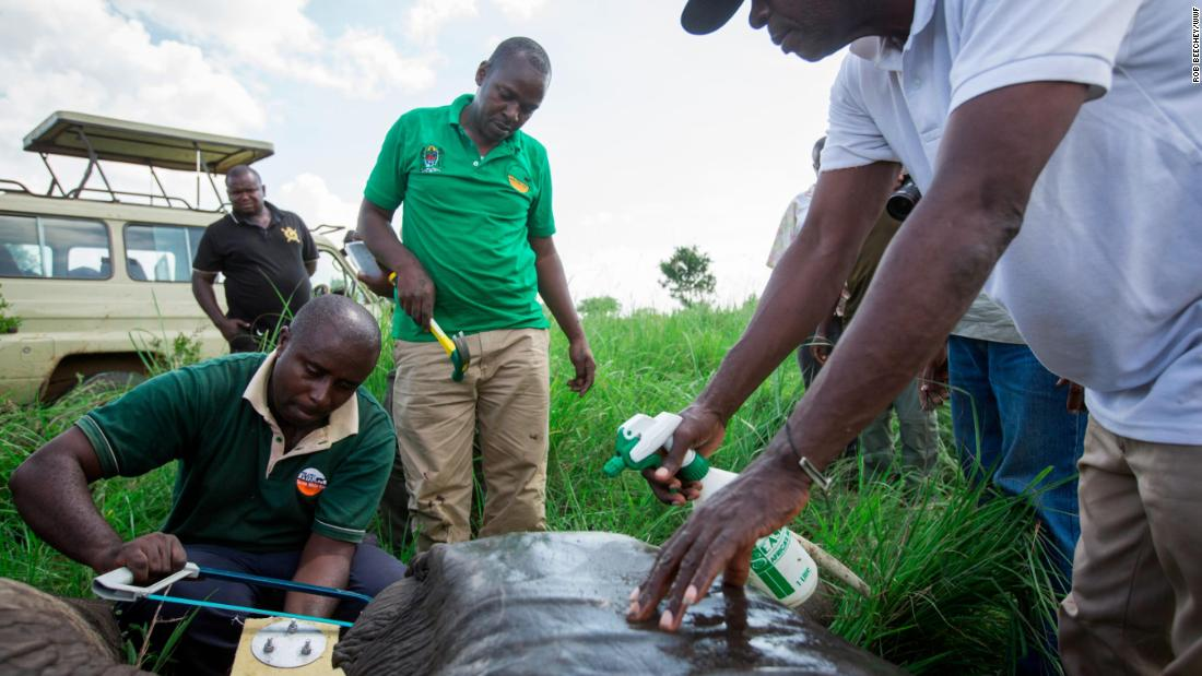 A ranger cutting of the protruding bolts on the collar once it has been fitted. Asukile Kajuni from WWF-Tanzania keeps the elephant cool by spraying its ear with water.
