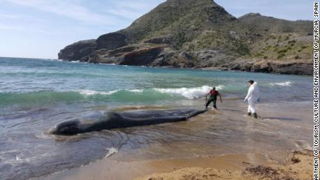 The six-ton mammal was found on February 27 on the beach of Cabo de Palos.