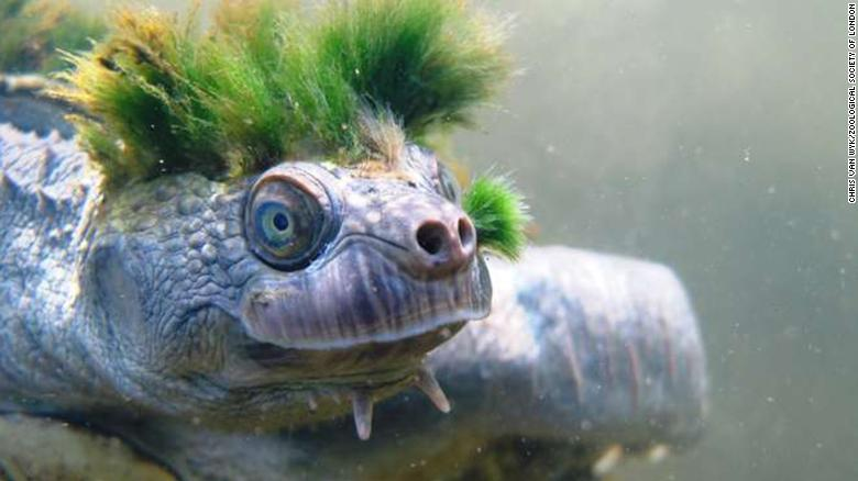 Image result for mary river turtle