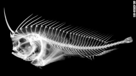 b76d4023497f4 An X-ray of a Whiskered Prowfish